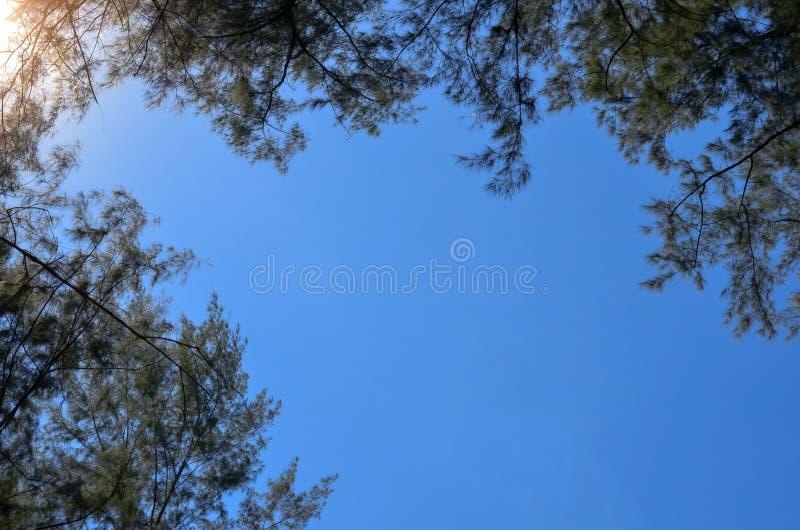 Australijska sosna z jaskrawym jasnym niebieskim niebem obraz royalty free