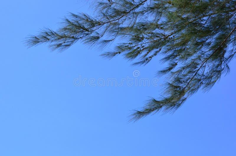 Australijska sosna z jaskrawym jasnym niebieskim niebem zdjęcie stock