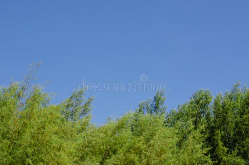 Australijska sosna z jaskrawym jasnym niebieskim niebem obrazy royalty free