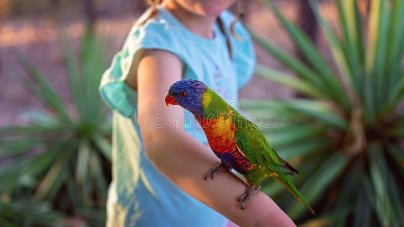 australijska tęczy lorikeet fotografia stock