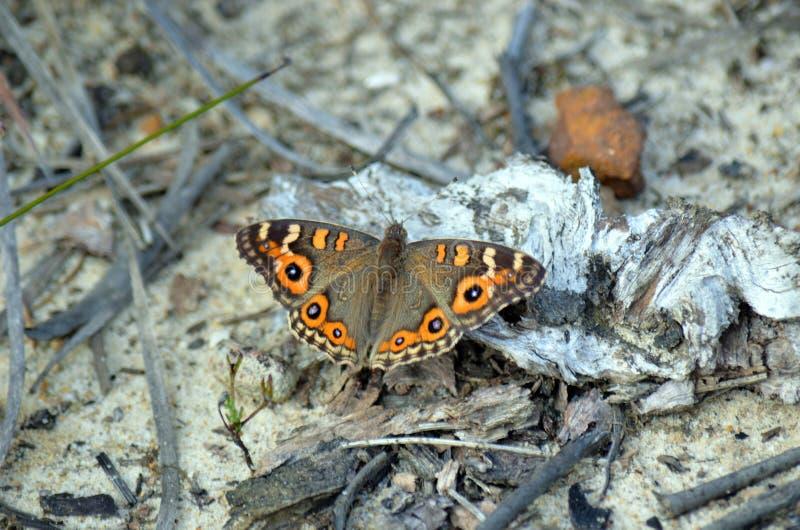 Australijski Łąkowy Argus motyl (Junonia villida) zdjęcie royalty free