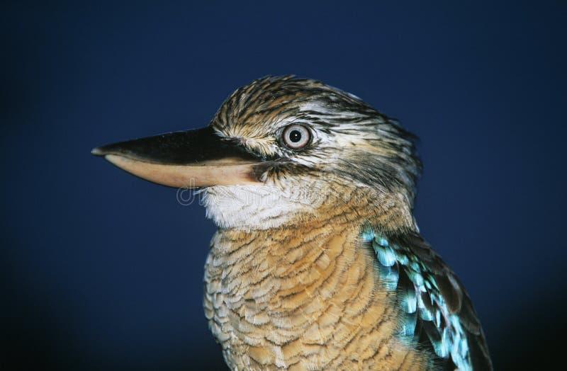 Australijski Błękitny oskrzydlony Kookaburra zakończenie obraz stock