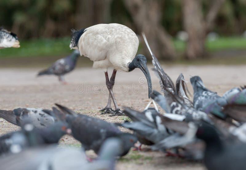 Australijski Biały ibis Threskiornis Molucca Karmić gołąbki w Sydney parku z ryż Australia zdjęcia royalty free
