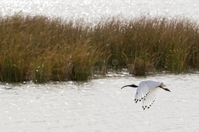 Australijski Biały ibis z biały upierzenia i czerni kierowniczy unosić się zdjęcia stock