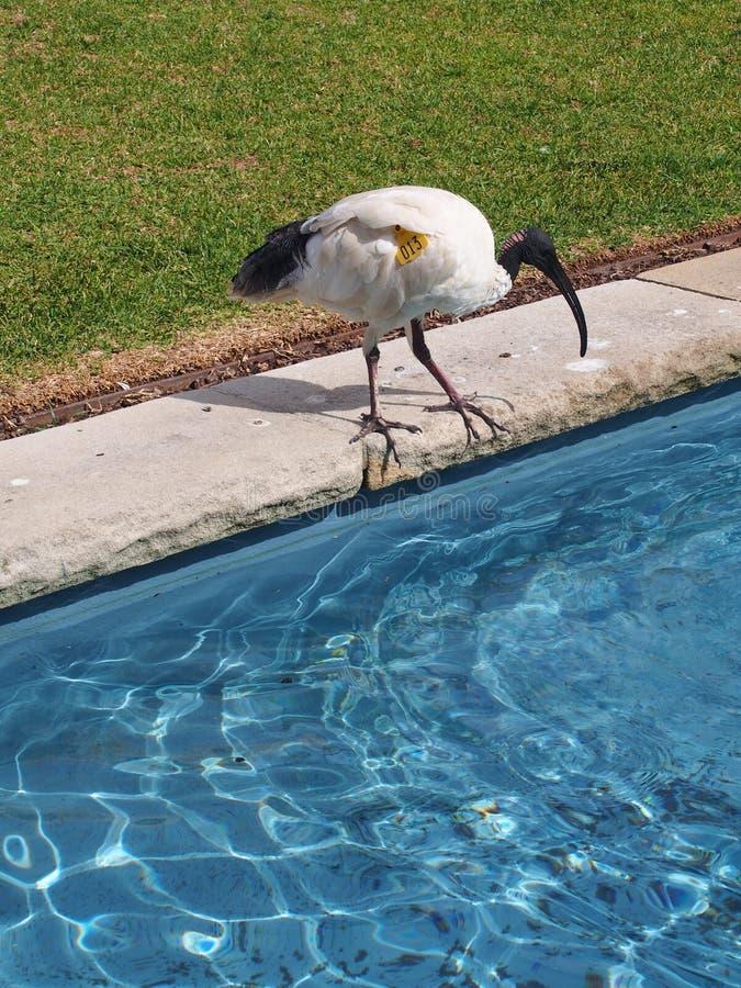 Australijski biały ibisa i błękitne wody basen, nabierający Sydney Królewscy ogródy botaniczni obrazy stock