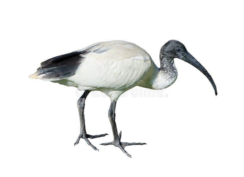 Australijski czarny i biały ibisa ptak, odizolowywający na białym tle obrazy royalty free