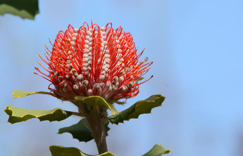Australijski czerwony kwiatu Banksia coccinea Banksia szkarłat obrazy stock