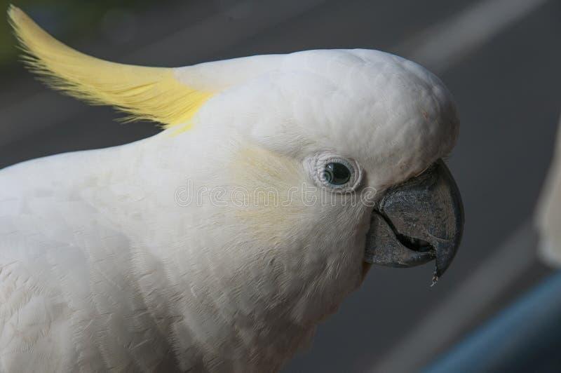 Australijski Czubaty kakadu głowy strzał Cacatua galerita fotografia stock