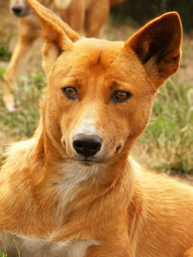 australijski dingo zdjęcie stock