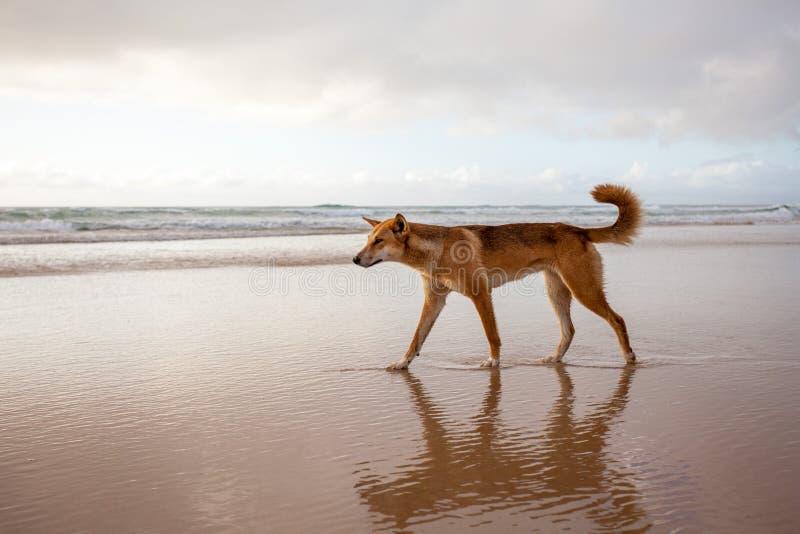 Australijski dingo zdjęcia royalty free