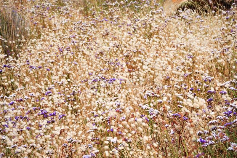 australijski flora western zdjęcia stock