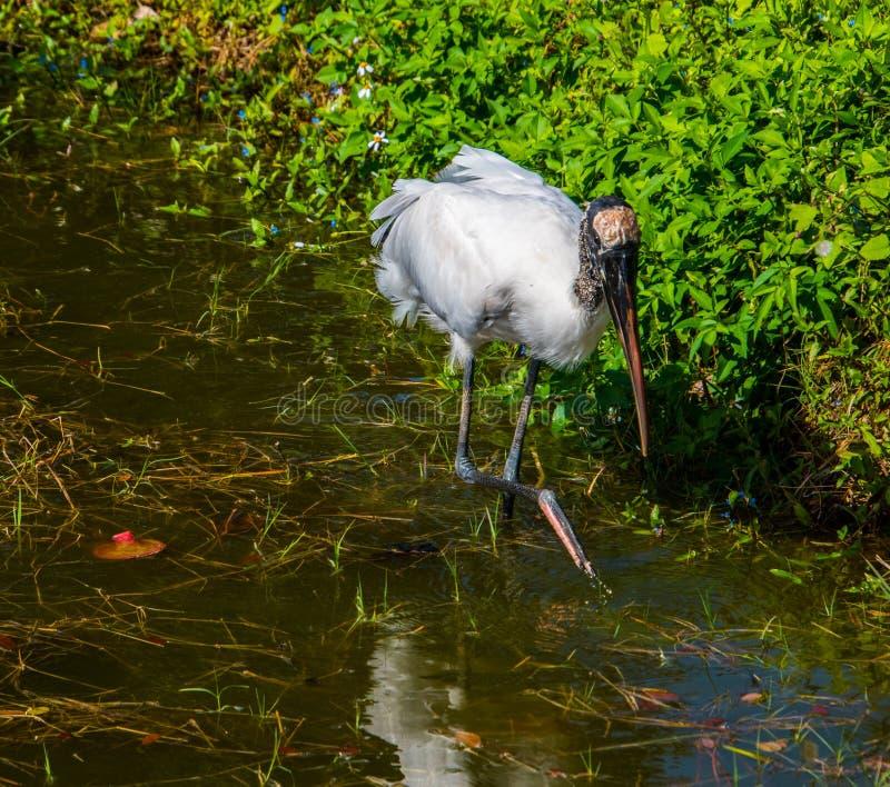 Australijski ibis w płytkiej jezioro wodzie fotografia royalty free
