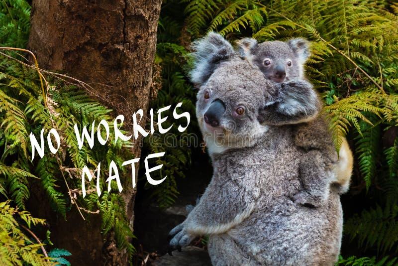 Australijski koala niedźwiedzia rodzimy zwierzę z dzieckiem i Żadny zmartwienia kojarzyć w parę tekst obrazy stock