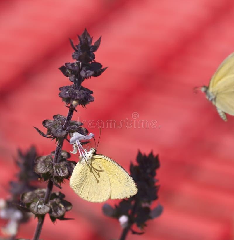 Australijski koloru żółtego motyl Eurema zdjęcia royalty free