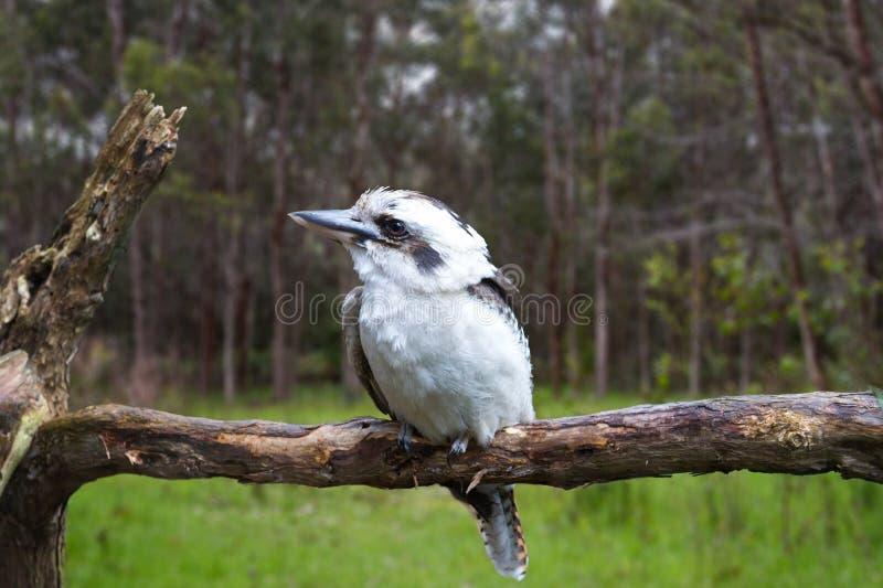 australijski kookaburra obrazy royalty free