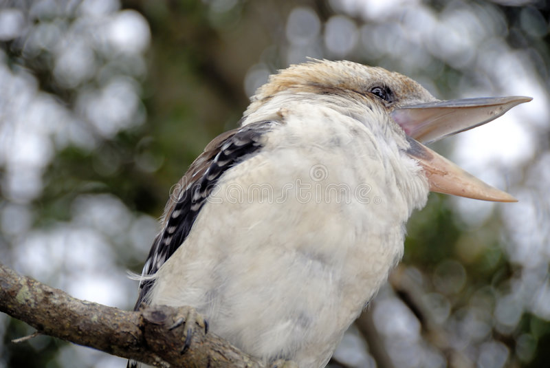 australijski kookaburra fotografia stock