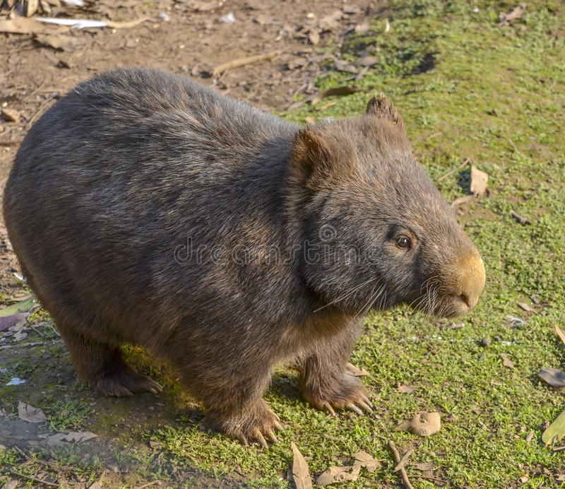 Australijski kosmaty ostrożnie wprowadzać wombat zdjęcia stock