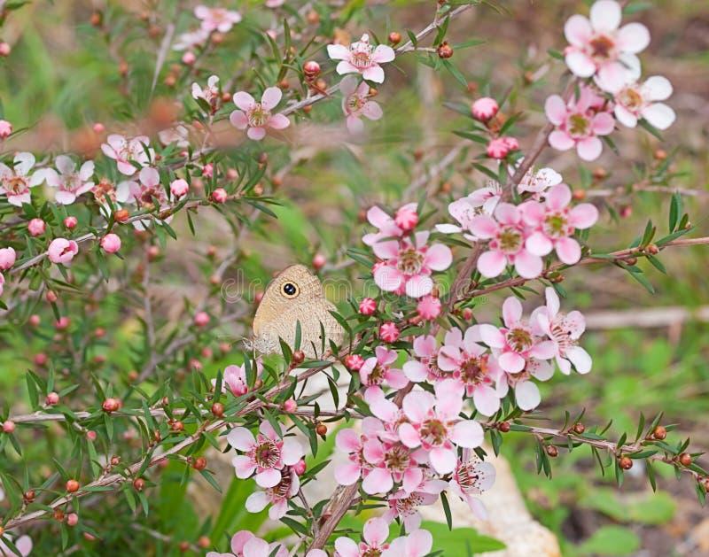 Australijski kwiat i motyl zdjęcia royalty free