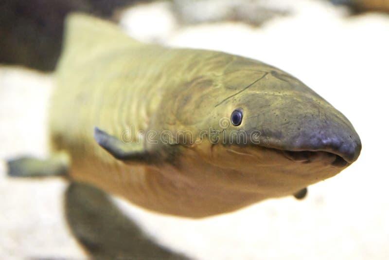 Australijski Lungfish (Neoceratodus forsteri) obraz stock