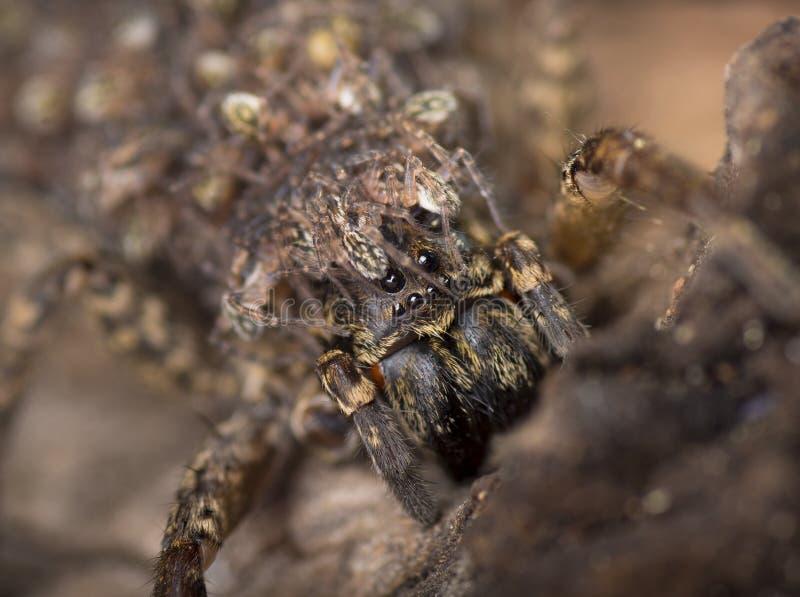 Australijski odludka pająk fotografia stock