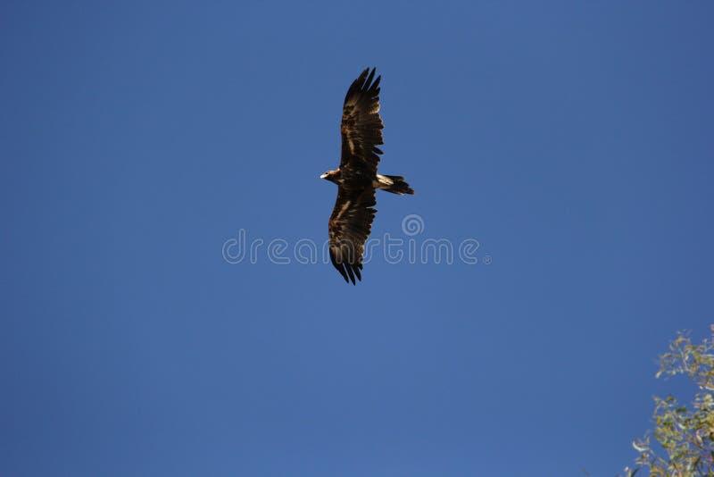 Australijski Ogoniasty Eagle obraz royalty free