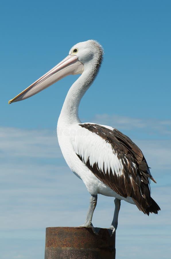 australijski pelikan zdjęcie royalty free