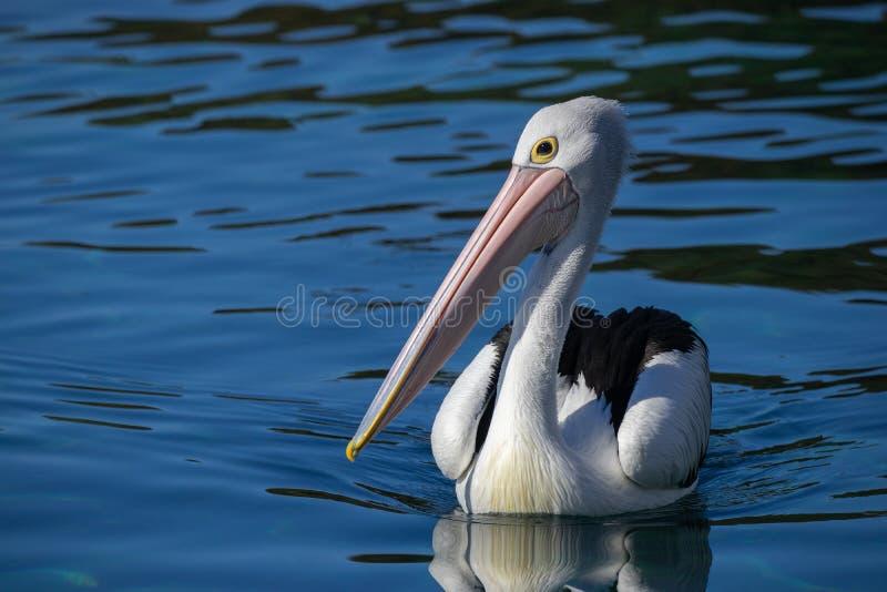 Australijski pelikan na błękitne wody obraz royalty free