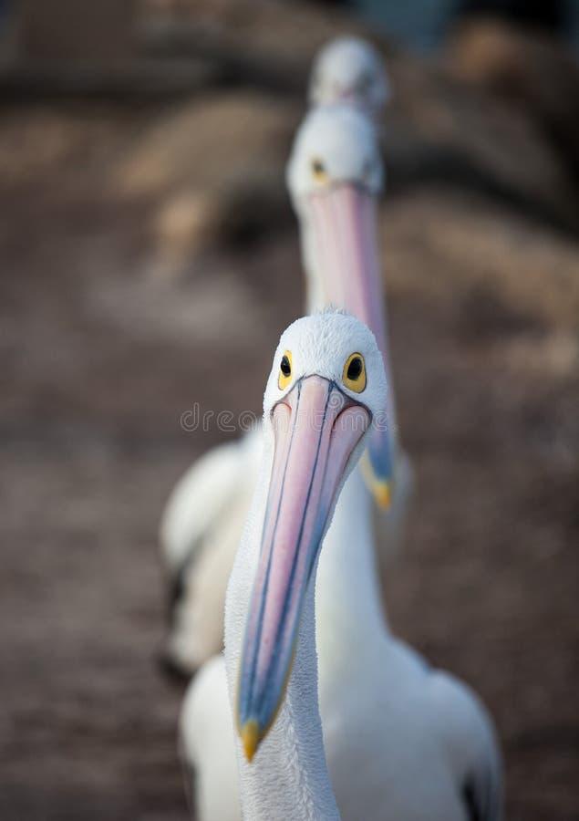 Australijski pelikan, Pelecanus conspicillatus, grupujący w górę linii gotowej łowić na piaskowatej plaży w Australia fotografia royalty free