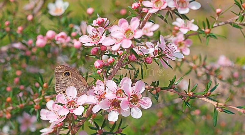 Australijski przyroda kwiat, motyl i obrazy stock