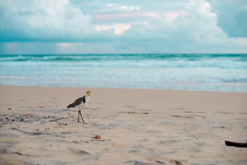 Australijski ptasi odprowadzenie dla jedzenia przy plażą wokoło Brisbane, Australia Australia jest kontynentem lokalizować w połu fotografia royalty free