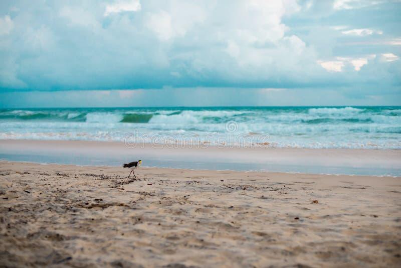 Australijski ptasi odprowadzenie dla jedzenia przy plażą wokoło Brisbane, Australia Australia jest kontynentem lokalizować w połu obraz stock