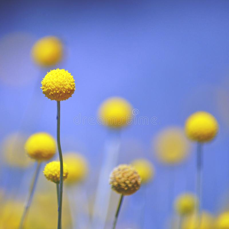 Australijski rodzimy Żółty Billy guzik kwitnie przeciw niebieskiemu niebu fotografia stock