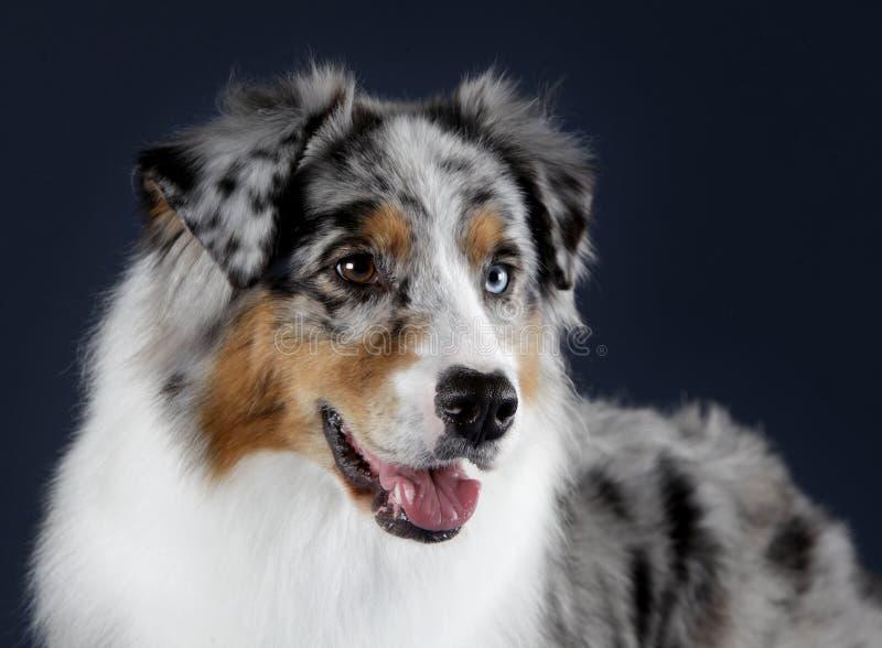 Australijski sheepdog portret obraz stock