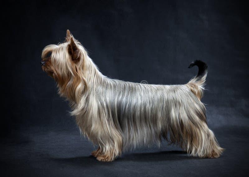 Australijski Silky Terrier obraz stock