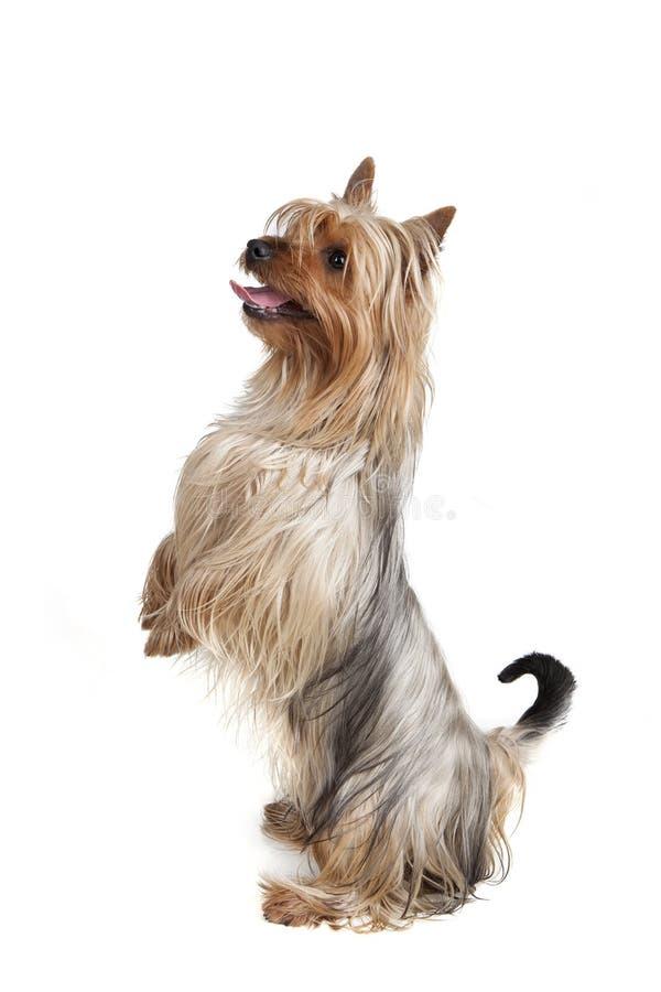 Australijski Silky Terrier obrazy royalty free