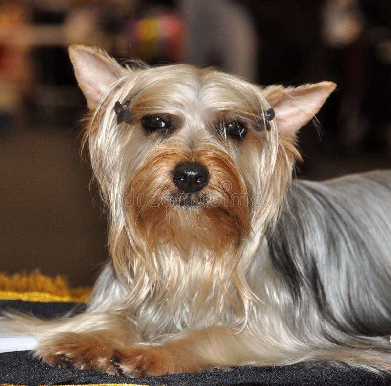 Australijski Silky Terrier pies zdjęcia stock