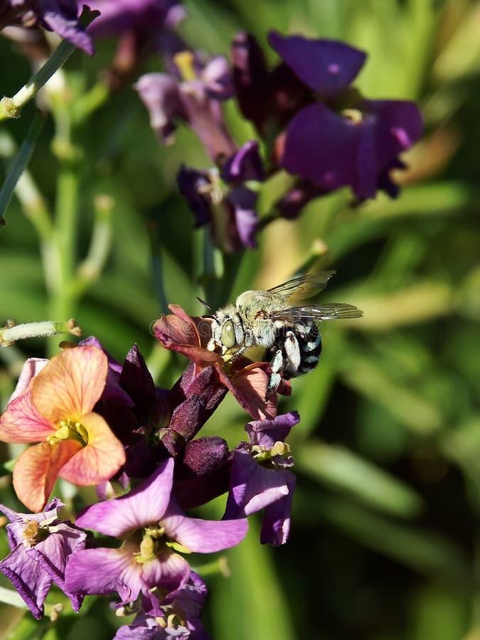 australijski skrzyknący niebieski pszczół obrazy stock