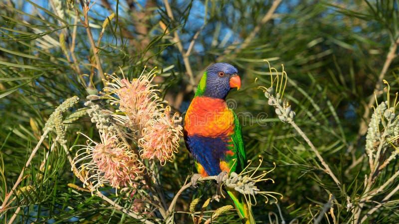 Australijski tęczy lorikeet umieszczał na banksia krzaku zdjęcie royalty free