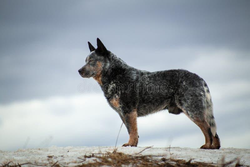 Australijski uzdrowiciel siwy pies stoi na wzgórzu fotografia royalty free