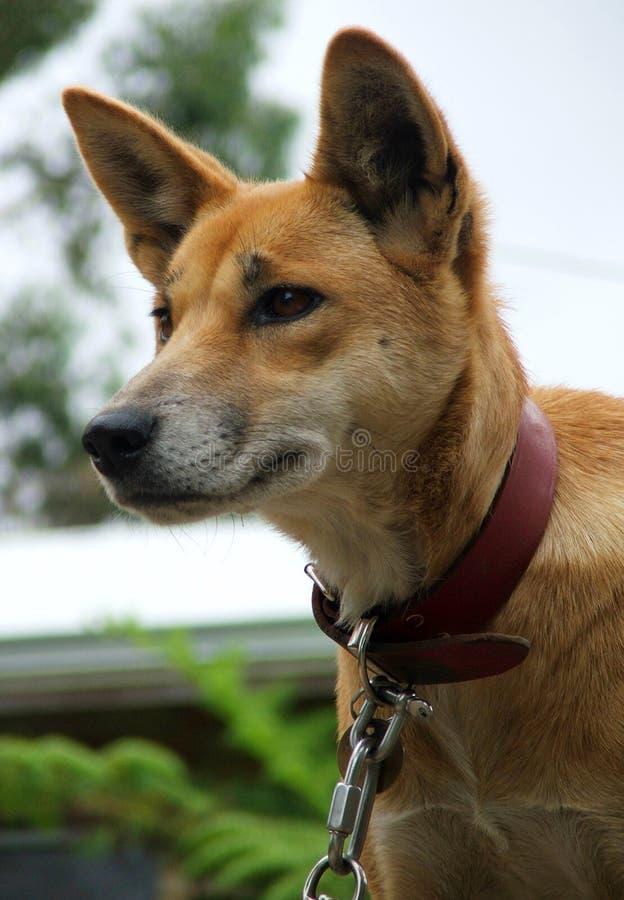 australijski zwierzęcego dingo zdjęcie stock