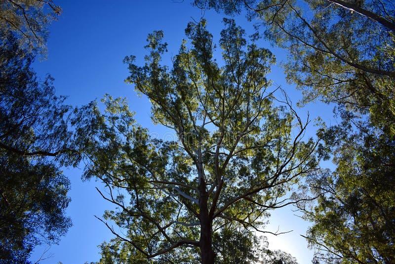 australijskich drzewa obraz royalty free