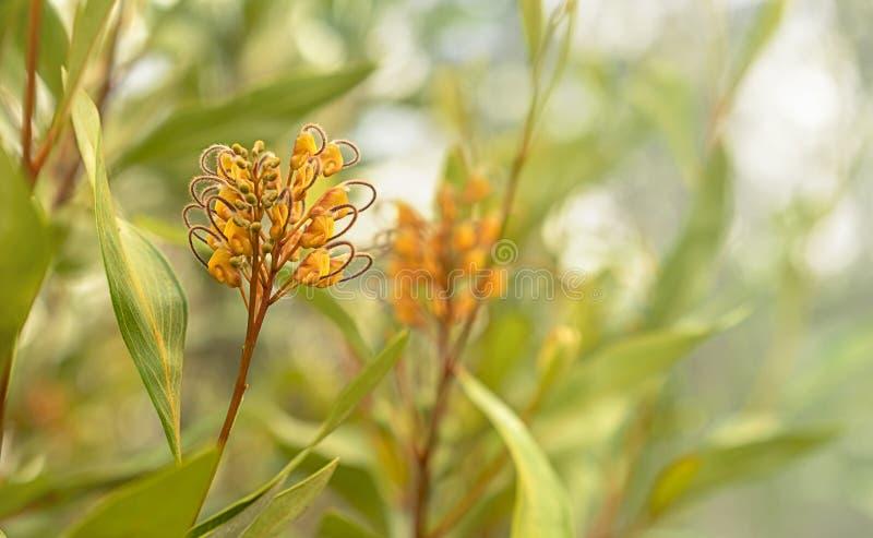 Australijskich flor Grevillea pomarańczowy marmoladowy fotografia stock