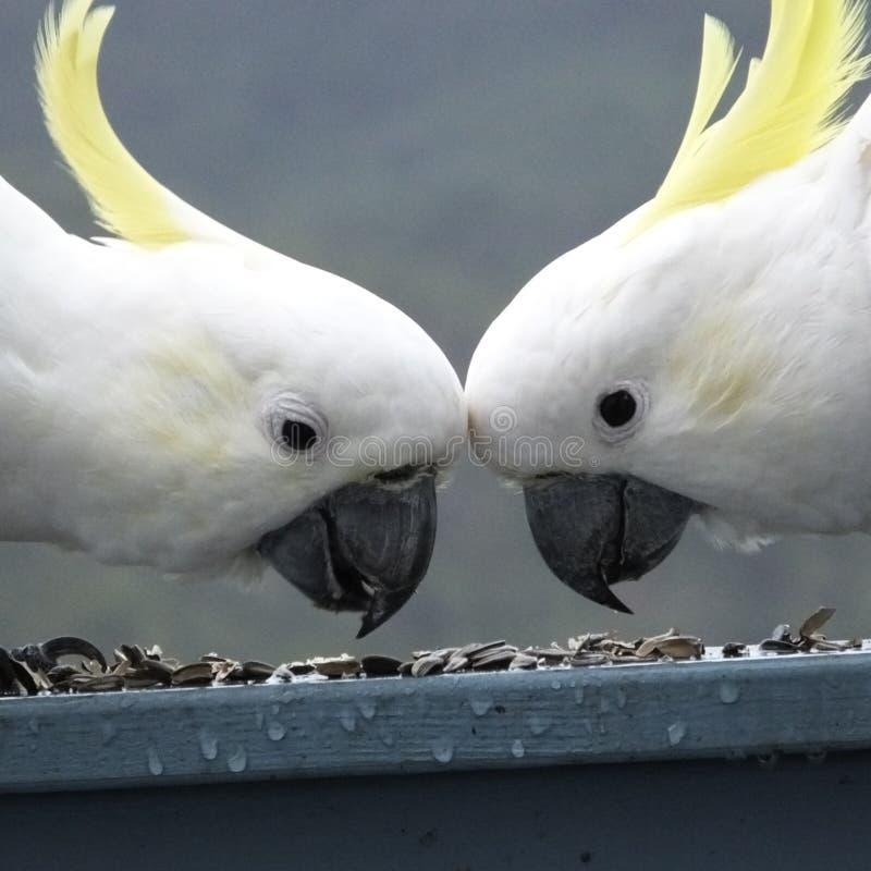 Australijskich przyroda ptaków żółty Siarczany czubaty biały kakadu zdjęcie stock