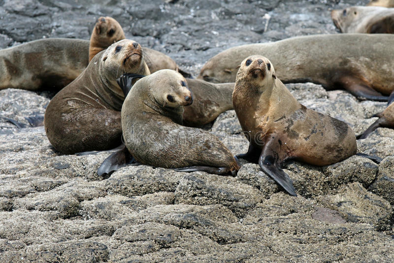 Australijskie futerkowe foki fotografia stock