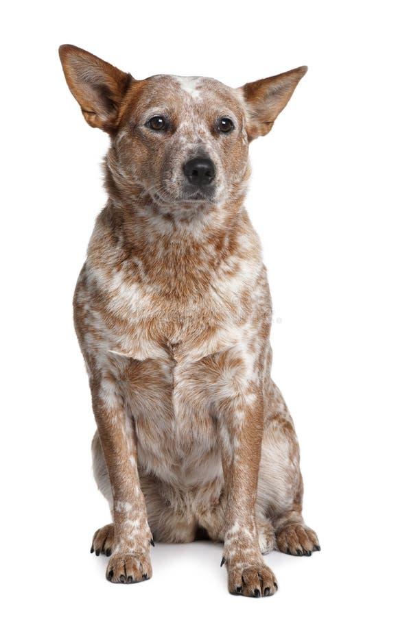 australijskiego bydła psa przodu siedzący widok zdjęcia stock