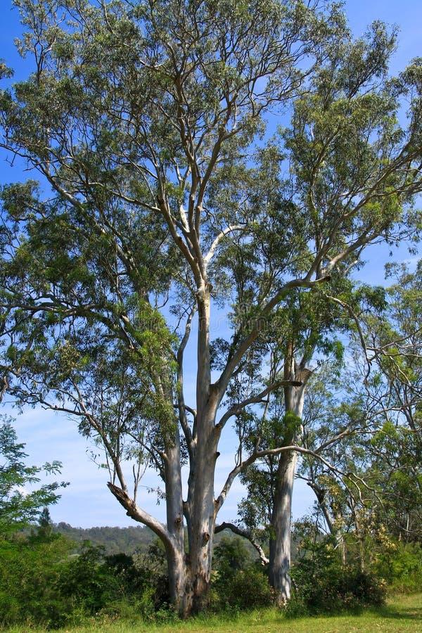 australijskiego eukaliptusowego słońca wysocy drzewa fotografia royalty free