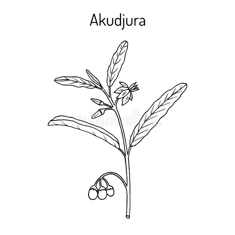 Australijskiej pustyni rodzynki Solanum centrala lub akudjura, ilustracja wektor