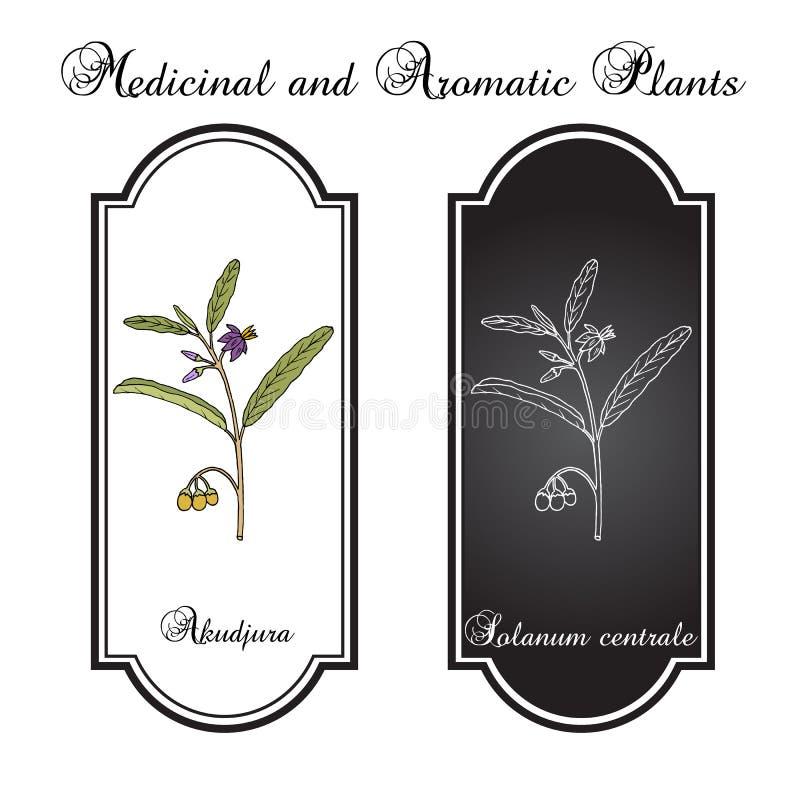 Australijskiej pustyni rodzynki Solanum centrala lub akudjura, kutjera, krzaka pomidor, pikantności roślina royalty ilustracja