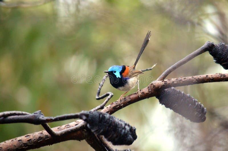 Australijskiej samiec różnobarwny czarodziejski strzyżyk (Malurus lamberti) zdjęcie royalty free