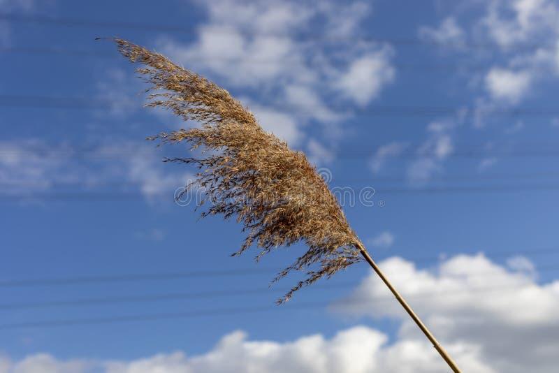 Australis Verbiegen des allgemeines REEDphragmites mit dem Wind lizenzfreie stockbilder